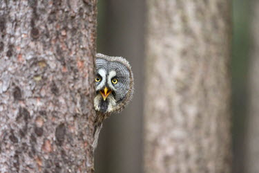 NIS230891 Great Grey owl (Strix nebulosa) peeping around a tree trunk  in a forest, Czech Republic, South Bohemia, Zdarske vrchy