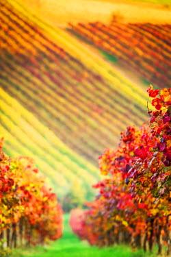 ITA5078AW Castelvetro, Modena, Emilia Romagna, Italy. Sunset over the Lambrusco Grasparossa vineyards and rolling hills in autumn