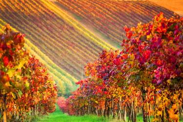 ITA5079AW Castelvetro, Modena, Emilia Romagna, Italy. Sunset over the Lambrusco Grasparossa vineyards and rolling hills in autumn
