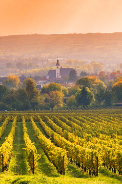 GER8906AW Vineyards at sunset, Oestrich-Winkel, Rhine valley, Hesse, Germany