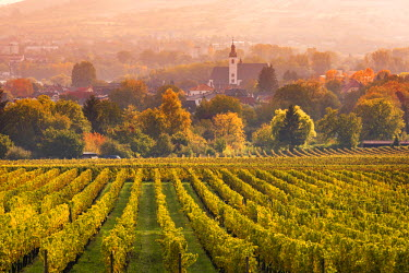 GER8907AW Vineyards at sunset, Oestrich-Winkel, Rhine valley, Hesse, Germany
