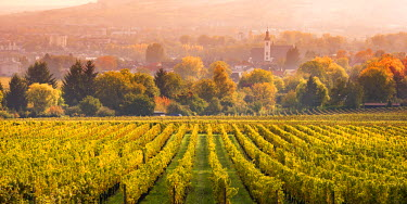GER8908AW Vineyards at sunset, Oestrich-Winkel, Rhine valley, Hesse, Germany