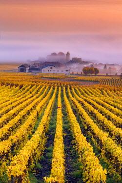 FRA8947AW Vineyards in the mist, Mesnil sur Oger, Champagne Ardenne, France