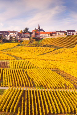 FRA8957AW Vineyards of Cramant, Champagne Ardenne, France