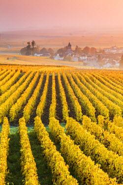 FRA8961AW Vineyards in the mist at sunrise, Oger, Champagne Ardenne, France