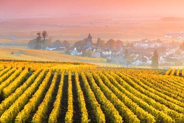 FRA8962AW Vineyards in the mist at sunrise, Oger, Champagne Ardenne, France