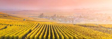 FRA8963AW Vineyards in the mist at sunrise, Oger, Champagne Ardenne, France