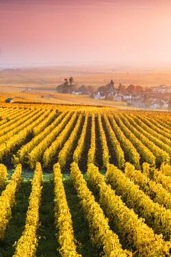 FRA8964AW Vineyards in the mist at sunrise, Oger, Champagne Ardenne, France