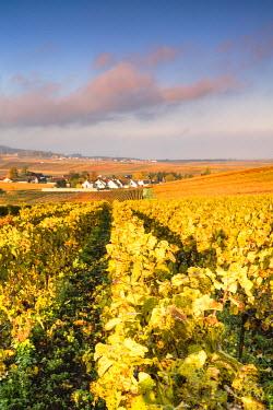 FRA8886AW Vineyards near Chigny Les Roses, Champagne Ardenne, France