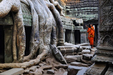 HMS2169771 Cambodia, Siem Reap province, Angkor listed as World Heritage by UNESCO, buddhist monk and giant tree roots over a building at Ta Promh temple, built end of 12th century