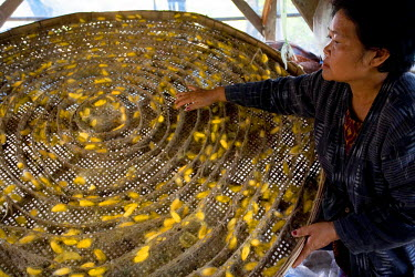 HMS0175311 Thailand, Northeastern Thailand, Isan region, Chaiyaphum province, Ban Khwao, specialised centre in silk manufacture, silkworm breeding, woman sifting the bloomed silkworms