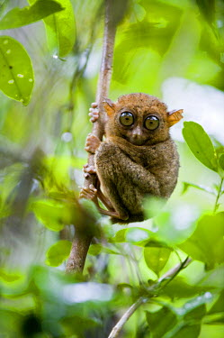 HMS0310149 Philippines, Bohol Island, Tarsier monkey is one of the smallest primates in the world