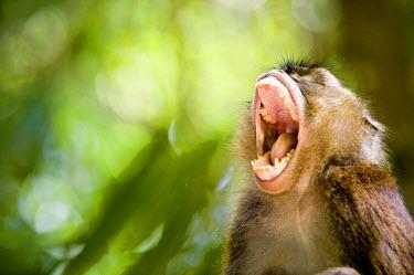 HMS0310307 Philippines, Palawan Island, Sabang, Puerto Princesa Subterranean River National Park, a macaque