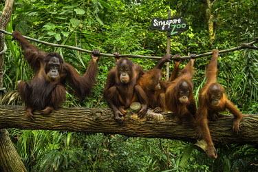 HMS2191367 Singapore, Singapore Zoological Gardens, Mandai Zoo, Orangutans (Pongo borneo)