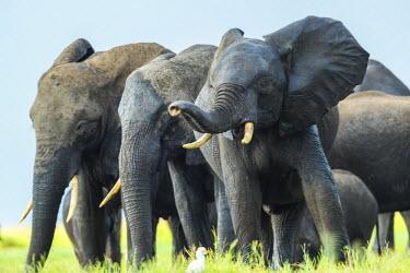 BT01112 Elephants, Chobe Nat Pk, Botswana, Africa