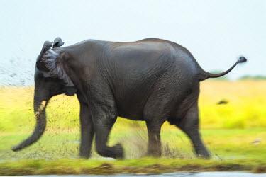 BT01113 Elephant, Chobe Nat Pk, Botswana, Africa