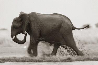 BT01114 Elephant, Chobe Nat Pk, Botswana, Africa