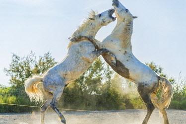 FR05597 White horse stallions fighting, The Camargue, France