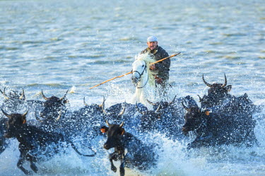 FR05601 Gardian, cowboy & horseman of the Camargue rounding up bulls in water, Camargue, France