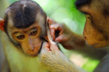HMS0612335 Malaysia, Borneo, Sabah State, Sepilok Orangutan Sanctuary, Southern Pig-tailed Macaque (Macaca nemestrina), adult female lousing baby in primary rainforest