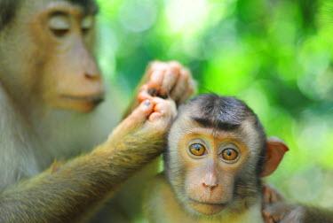 HMS0612336 Malaysia, Borneo, Sabah State, Sepilok Orangutan Sanctuary, Southern Pig-tailed Macaque (Macaca nemestrina), adult female lousing baby in primary rainforest