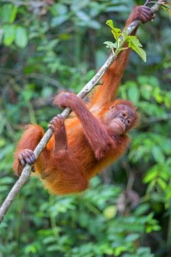 HMS1935105 Malaysia, Sarawak state, Kuching, Semenggoh Wildlife Rehabilitation Center, Bornean orangutan (Pongo pygmaeus pygmaeus), young