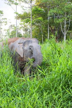 HMS1935136 Malaysia, Sabah state, Kinabatangan river, Borneo elephant or Borneo pygmy elephant (Elephas maximus borneensis), subspieces of Asian elephant