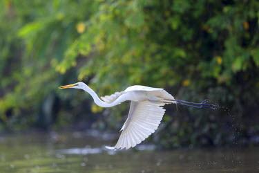 HMS1935149 Malaysia, Sabah state, Kinabatangan river, Intermediate Egret, median egret, maller egret or yellow-billed egret (Mesophoyx intermedia)