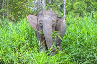 HMS1935166 Malaysia, Sabah state, Kinabatangan river, Borneo elephant or Borneo pygmy elephant (Elephas maximus borneensis), subspieces of Asian elephant