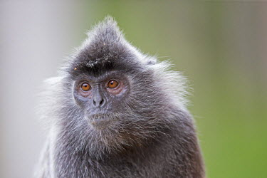 HMS1935172 Malaysia, Sabah state, Labuk Bay, Silvery lutung or silvered leaf monkey or the silvery langur or Silver leaf monkey (Trachypithecus cristatus), adult