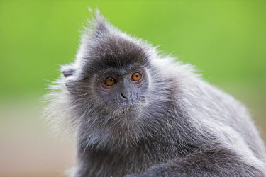 HMS1935173 Malaysia, Sabah state, Labuk Bay, Silvery lutung or silvered leaf monkey or the silvery langur or Silver leaf monkey (Trachypithecus cristatus), adult
