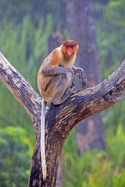 HMS1935189 Malaysia, Sabah state, Labuk Bay, Proboscis monkey or long-nosed monkey (Nasalis larvatus), under the rain