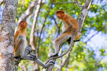 HMS1935202 Malaysia, Sabah state, Labuk Bay, Proboscis monkey or long-nosed monkey (Nasalis larvatus)