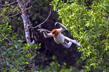 HMS1935207 Malaysia, Sabah state, Labuk Bay, Proboscis monkey or long-nosed monkey (Nasalis larvatus)