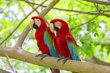 HMS1935223 Malaysia, Sabah state, Sandakan, Sepilok Orang Utan Rehabilitation Center, Red-and-green Macaw or Green-winged Macaw (Ara chloropterus), captiv
