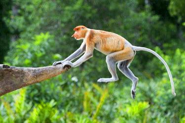 HMS1935246 Malaysia, Sabah state, Labuk Bay, Proboscis monkey or long-nosed monkey (Nasalis larvatus)
