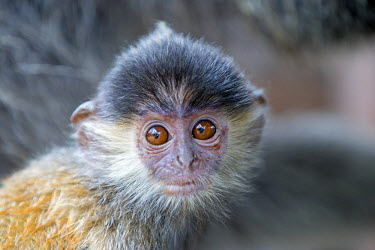 HMS1935254 Malaysia, Sabah state, Labuk Bay, Silvery lutung or silvered leaf monkey or the silvery langur or Silver leaf monkey (Trachypithecus cristatus), young
