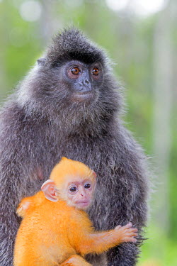 HMS1935255 Malaysia, Sabah state, Labuk Bay, Silvery lutung or silvered leaf monkey or the silvery langur (Trachypithecus cristatus), adult and offspring (orange in color)