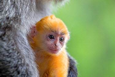 HMS1935256 Malaysia, Sabah state, Labuk Bay, Silvery lutung or silvered leaf monkey or the silvery langur (Trachypithecus cristatus), adult and offspring (orange in color)
