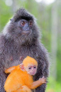 HMS1935257 Malaysia, Sabah state, Labuk Bay, Silvery lutung or silvered leaf monkey or the silvery langur (Trachypithecus cristatus), adult and offspring (orange in color)