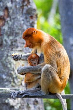 HMS1935258 Malaysia, Sabah state, Labuk Bay, Proboscis monkey or long-nosed monkey (Nasalis larvatus), adult female and baby