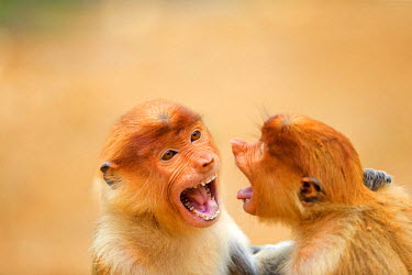HMS1935270 Malaysia, Sabah state, Labuk Bay, Proboscis monkey or long-nosed monkey (Nasalis larvatus), teanagers fighting, play