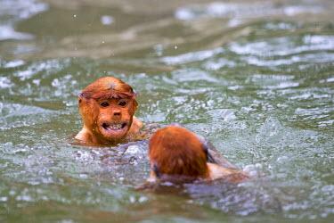 HMS1935272 Malaysia, Sabah state, Labuk Bay, Proboscis monkey or long-nosed monkey (Nasalis larvatus), swimming