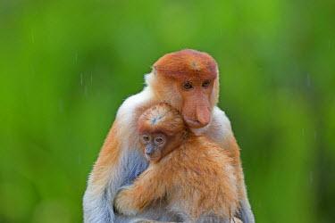 HMS1935276 Malaysia, Sabah state, Labuk Bay, Proboscis monkey or long-nosed monkey (Nasalis larvatus), adult female and baby