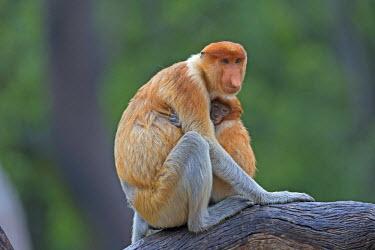HMS1935278 Malaysia, Sabah state, Labuk Bay, Proboscis monkey or long-nosed monkey (Nasalis larvatus), adult female and baby