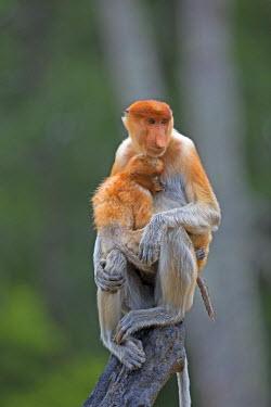HMS1935281 Malaysia, Sabah state, Labuk Bay, Proboscis monkey or long-nosed monkey (Nasalis larvatus), adult female and baby