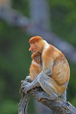 HMS1935282 Malaysia, Sabah state, Labuk Bay, Proboscis monkey or long-nosed monkey (Nasalis larvatus), adult female and baby