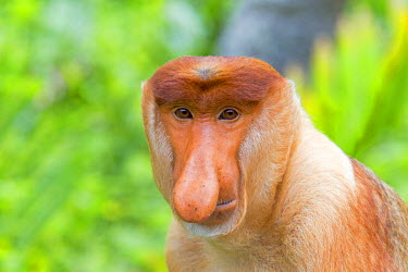 HMS1935285 Malaysia, Sabah state, Labuk Bay, Proboscis monkey or long-nosed monkey (Nasalis larvatus, )male the chief