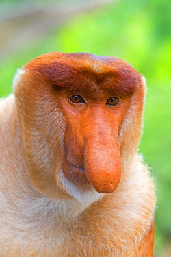 HMS1935287 Malaysia, Sabah state, Labuk Bay, Proboscis monkey or long-nosed monkey (Nasalis larvatus, )male the chief