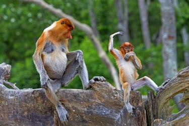 HMS1935288 Malaysia, Sabah state, Labuk Bay, Proboscis monkey or long-nosed monkey (Nasalis larvatus), adult female and baby